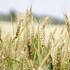 Чиновник рассказал, как засуха повлияла на урожай в Воронежской области