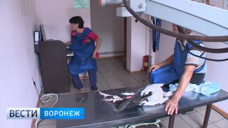 Воронежские волонтёры спасли белого аиста с переломом голени