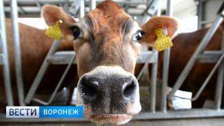 В Воронежской области планируют удвоить производство молока