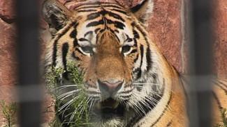 В открытом вольере воронежского зоопарка теперь гуляет амурский тигр