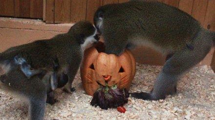 Как животные Воронежского зоопарка отметили Хеллоуин