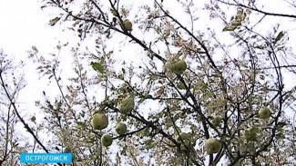 Американская белая бабочка уничтожает сады и парки Острогожска