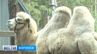 Новая 700-килограммовая обитательница питомника под Воронежем напугала местных бизонов
