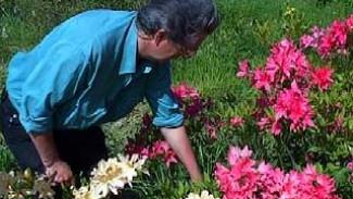 Рододендроны появились в Ботаническом саду ВГУ 30 лет назад