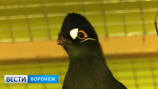 Коллекцию Воронежского зоопарка пополнил синехохлый турако