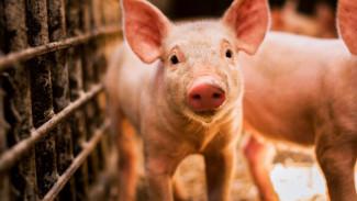 Мифическая угроза и 6 млрд рублей. Судьбу будущего свинокомплекса решат воронежские сельчане