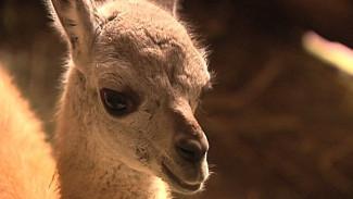 ВИДЕО: Новорождённая гуанако уже прогуливается с мамой по Воронежскому зоопарку
