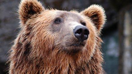 В воронежском райцентре медведь сбежал из цирка