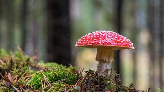 «Число отравлений выросло втрое». Как воронежцам распознать самый ядовитый гриб на планете