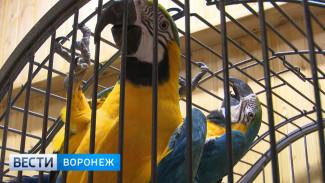 Сотрудники Воронежского зоопарка хотят разговорить попугаев ара угощениями