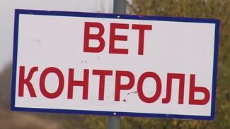 В Воронежской области зафиксировали два новых очага АЧС