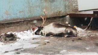 В воронежской промзоне нашли усталого северного оленя из упряжки Деда Мороза