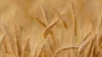 Тунисские бизнесмены заинтересовались воронежским зерном