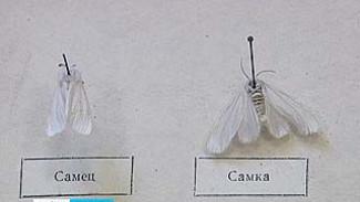 На вид белая и пушистая, а на деле - опасный вредитель