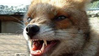 В Аннинском районе проводят иммунизацию диких животных