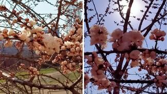В опустевшем Воронеже досрочно расцвели абрикосы