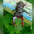 В Воронежской области начался вылет краснокнижных жуков-оленей