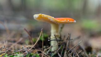 Число погибших от отравления грибами жителей Воронежской области выросло до восьми