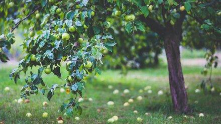 В Воронежской области совладелец агропредприятия присвоил субсидию на яблоневые сады