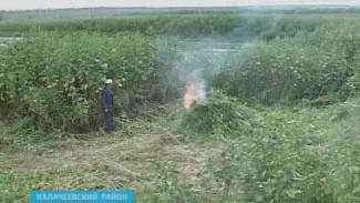 Каннабис горит. Двухметровые плантации конопли уничтожили полицейские