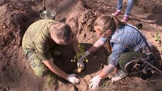 В Воронеже высадили экспериментальные берёзы