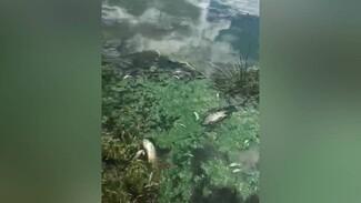 Воронежцы: у водосброса в Шилово массово погибла рыба