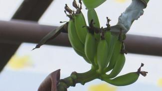 Бутона ждали 12 лет. В воронежской теплице зацвёл банан