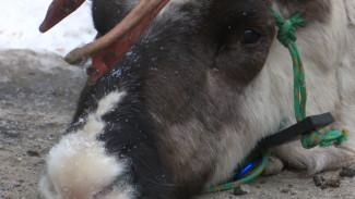 После смерти оленя воронежцы потребовали от Путина запретить шоу с дикими животными