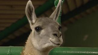 В Воронежском зоопарке появилась новая питомица из Южной Америки