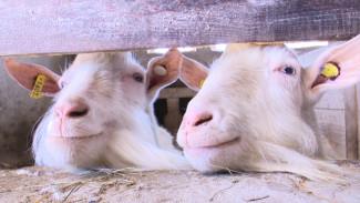 В Воронежской области фермеры начнут делать козий сыр