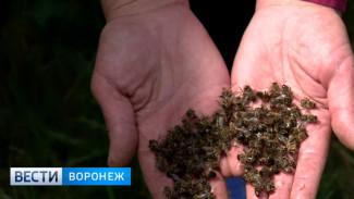 В Воронежской области на пасеках массово гибнут пчёлы
