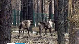 Самке северного оленя из Воронежа нашли пару из Челябинска