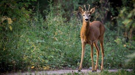 Охотник заплатит 120 тыс. рублей за незаконное убийство косули в Воронежской области