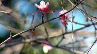 В Ботаническом саду ВГУ зацвела яблоня