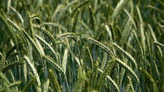 В «Продимексе» рассказали о влиянии сухой погоды на урожай в Воронежской области