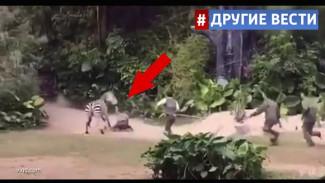 Нападение обезумевшей зебры на сотрудника китайского зоопарка попало на видео