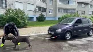 Многодетный пёс-рекордсмен из Воронежа протащил машину весом более тонны