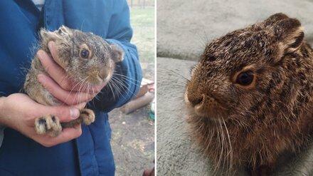 Под Воронежем дачники спасли прятавшегося от собаки 20-дневного зайчонка