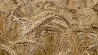 Банк «Авангард» может запустить в Воронежской области переработку зерновых