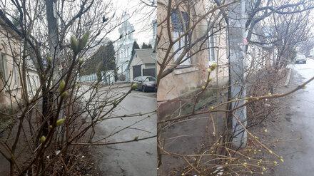На воронежской улице в середине декабря начала распускаться сирень