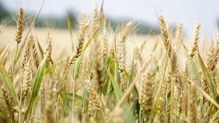 В Воронежской области построят завод по переработке пшеницы и производству глютена