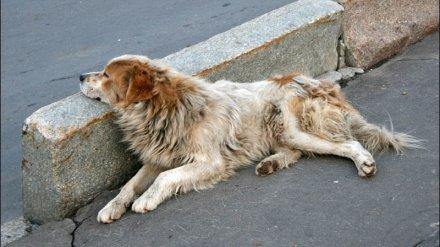 Воронежцы сообщили о массовой травле собак догхантерами