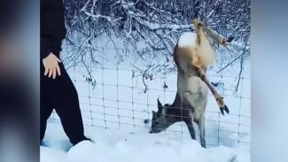 Появилось видео, как воронежская семья спасла молодого оленя в заказнике