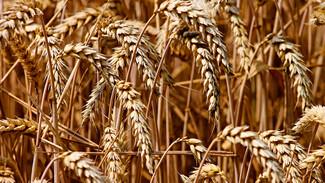 Тёплая зима и жаркое лето не сказались на качестве зерна в Воронежской области