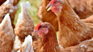 Ветеринары опровергли гибель 1,2 млн кур от птичьего гриппа на воронежской фабрике