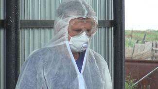 В двух районах Воронежской области до октября ввели карантин из-за вспышки АЧС