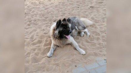 Разорвавшего маленькую собачку пса пристроили в воронежский приют