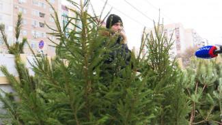 «Местные – все кривые». Почему горожане остались без воронежских ёлок к Новому году