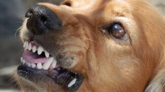 Воронежский СК заинтересовался нападением бездомных собак на 11-летнего школьника
