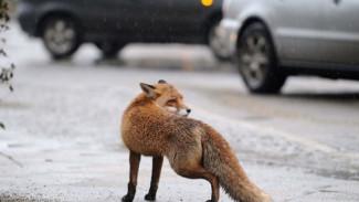 Гуляющая на парковке Центрального парка Воронежа лиса попала на видео
